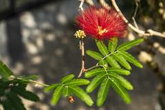 Calliandra tweedil - Brasilien (dl5edf) Tags: alpha7ii blumen blumenundpflanzen bochum botanischergarten natur pflanzen rub sony nature