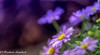 Purple (frederic.gombert) Tags: flower flowers light purple color yellow blue sun sunlight macro ray bloom blossom nikon