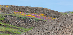 815A1858 A bed of flowers (hobbitcamera) Tags: northtablemountainecologicalreserve tabletopmountain northtablemountainecologicalreservetabletopmountain oroville orovillecalifornia wildflowers flowers hiking colorfulflowers buttecounty tabletopmtn bedofflowers