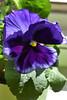 Purple pansy (darletts56) Tags: flower pansy pedal leaf leaves green shadow purple