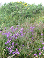 Heather for King Arthur (Marit Buelens) Tags: bush shrub gorse purple pink yellow heather erica heidekruid buttercup ranunculus boterbloem bodminmoor england cornwall fz200 king arthurs hall bronzeage walking hiking