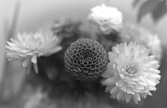 Evanescence (Guillaume DELEBARRE) Tags: flowers fleurs sigma50mmf14art 6d canon bouquet blur bokeh dahlia blackandwhite nb noiretblanc bw