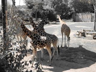 Leipzig Zoo / Giraffen