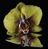 Reflecting On An Orchid Blossom (Bill Gracey 18 Million Views) Tags: orchid flower fleur flor color colorful yongnuo yongnuorf603n homestudio mirror mirrored reflection blackbackground softbox nature naturalbeauty floralphotography tabletopphotography