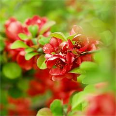 red........... (atsjebosma) Tags: flowers red green macro spring voorjaar lente april 2018 atsjebosma bloemen rood groen groningen thenetherlands
