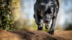 Max, logging on! (Marcus Legg) Tags: max dog dogs animal black blacklabradorretriever bokeh woods woodland canon ef70200mmf28lisii eos action jumping pet pets play