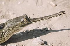 0743 Brush My Teeth II (Hrvoje Simich - gaZZda) Tags: gavialisgangeticus animals reptile nature wild outdoor teeth eye nationalpark chitwan asia nepal nikon nikond750 sigma150500563 gazzda hrvojesimich