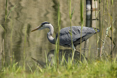 Grey Heron on the Hunt (Mal.Durbin Photography) Tags: forestfarm maldurbin wildlifephotography wildlife birds