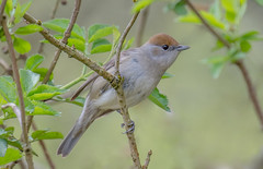 JWL2312  Blackcap.. (jefflack Wildlife&Nature) Tags: blackcap summermigrant birds avian animal animals wildlife wildbirds wetlands woodlands songbirds gardenbirds glades countryside copse heathland hedgerows moorland marshland meadows marshes forest nature warbler warblers ngc npc coth5