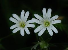 little Wild Flower (Hugo von Schreck) Tags: hugovonschreck flower blume blüre wildblume wildflower macro makro canoneos5dsr
