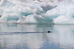 20170819-111837LC (Luc Coekaerts from Tessenderlo) Tags: austurland iceland isl jökulsárlón glacier gletsjer glacierlake gletsjermeer icefloe ijsschots iceberg ijsberg fauna aquaticanimal seal zeehond blue splitdef191029jokulsarlon public nobody waterscape earlessseals phocidae cc0 creativecommons 20170819111837lc coeluc vak201708iceland