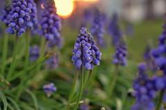 spring (joy.jordan) Tags: flower bloom grapehyacinth spring color bokeh sunset nature