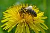 the glory of a honeybee on a dandelion (conall..) Tags: honeybee dandelion pollen