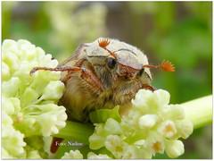 Pretty May Beetle (In Explore) (Nadine V.) Tags: meikever cockchafer maybeetle bladsprietkever scarabaeidae coleoptera melolonthamelolontha mulder molenaar maikäfer hanneton escarabajodesanjuan maybug insect inourgarden panasonic panasonicdmcfz200 lumix dmcfz200 explore