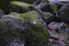 Petit Accessoire (Ronny Darko) Tags: stone beach stein strand wasser muschel sea shell alga alge rock fountainstown ireland detail