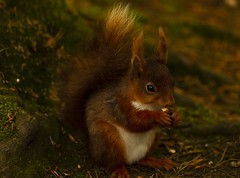 Young Red Squirrel (leppre) Tags: squirrel redsquirrel muff lisnagraforest inishowen ireland donegal forestfloor