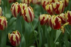 DSC07502- Choir (oliveplum) Tags: tulipmania2018 gardensbythebay flowerdome leica60f28macro singapore sony bokeh