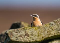 Wheatear (Peter Quinn1) Tags: wheatear moorland bird derwentedge derbyshire drystonewall