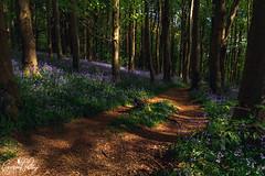 Coed Cefn (geraintparry) Tags: wales woods bluebell bluebells tree trees nature wood woodland forest geraint parry geraintparry crickhowell coed cefn coedcefn landscape flower flowers green blue purple sun sunlight