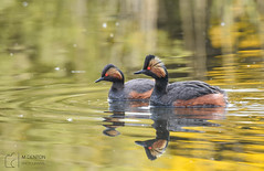 BNG Pair (mikedenton19) Tags: black necked grebe blackneckedgrebe bng podiceps nigricollis podicepsnigricollis bird wildlife staidans nature reserve naturereserve rspb aire valley airevalley swillington swillingtonings westyorkshire male female pair
