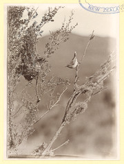 Warbler about to enter nest, 1909. (Archives New Zealand) Tags: archivesnewzealand birds nativebirds photograph photography guthriesmith copyrights warbler riroriro nest