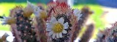 Cactus (claudine6677) Tags: kaktus cactus kaktusblüte stacheln thorns prickles