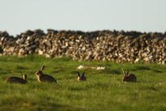 Brown Hares (Derbyshire Harrier) Tags: brownhare grassland whitepeak limestone peakdistrict peakpark derbyshire 2018 drystonewall lepuseuropaeus male female jill jack grazing parliament
