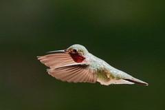 Just ..... Humming Along (Parowan496) Tags: hummingbird inflight