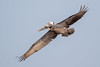 Brown Pelican (Simon Stobart (Catching Up and Editing)) Tags: titusville florida unitedstates us brown pelican pelecanus occidentalis flying