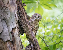 Peek a boo...{Explored} (DTT67) Tags: barredowl owl birdofprey bird 1dxmkii canon maryland forest nature wildlife