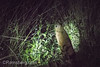 An African springhare is spotted at nighttime amongst the brush in Hwange National Park. Hwange, Zimbabwe (Remsberg Photos) Tags: zimbabwe africa wildlife animalwildlife safari night nighttime southafricanspringhare pedetescapensis springhaas rodent pedetes nocturnal elusive brush hwange hwangenationalpark grassland outdoors nature