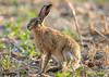 European Hare Lepus europaeus 103-1 (cwoodend..........Thanks) Tags: warwickshire wildlife hare europeanhare lepus leporid lepuseuropaeus
