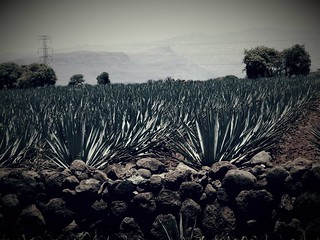 #Agave #AgaveFields #Mexico #places #travel