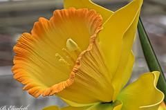 Daffodil (Barbara.Elizabeth) Tags: