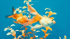 🐟🐠 peces (Villano Luna) Tags: colors water mar sea animal fishes fish sonyphotography sonyphoto sonypicture sonyalpha sony photography photographer photo picoftheday picture