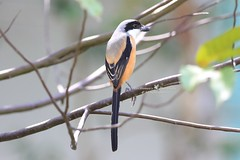6F8A8753  Long-tailed Shrike (EricBronson's Photography) Tags: longtailedshrike nature bird