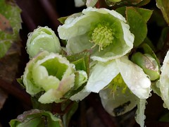In my garden today. (lovesdahlias 1) Tags: hellebores flowers blossoms raindrops gardens nature spring newengland