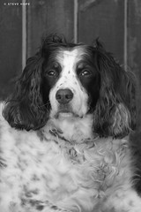 Brandy (SteveH1972) Tags: canon70200lf28usm canon70200usml28nonis canon70200nonis canon70200 70200 canon700d 700d dog dogs animal animals pet pets englishspringerspaniel springerspaniel outside outdoor outdoors northlincolnshire lincolnshire britain europe uk face beautiful blackandwhite bw monochrome