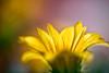 awake (Ralf_Budde) Tags: flickr ralfbudde blossom yellow color flower nature light sun macro droplet