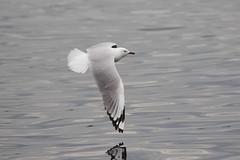 Silver Gull ad (Baractus) Tags: silver gull john oates hobart tasmania australia inala nature tours