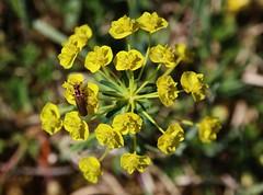 Wolfsmilch (Hugo von Schreck) Tags: hugovonschreck wolfsmilch wildflower wildblume blüte macro makro canoneos5dsr tamron28300mmf3563divcpzda010 buzznbugz