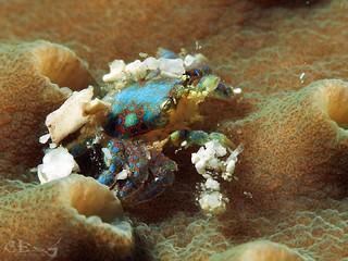 Pseudocryptochirus viridis