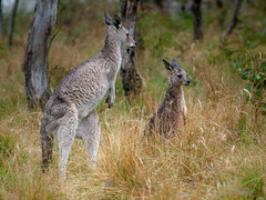 Wet Roos (__db_) Tags: aus australia australien beuteltiere kangaroo känguru nsw natur newsouthwales oz regen roo tier tiere tierwelt animal marsupial nass nature armidale