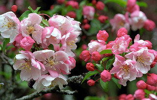 "Cincinnati – Spring Grove Cemetery & Arboretum ""Pink Crab Apple Tree - Blooms"""