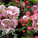 """Cincinnati – Spring Grove Cemetery & Arboretum """"Pink Crab Apple Tree - Blooms"""""""