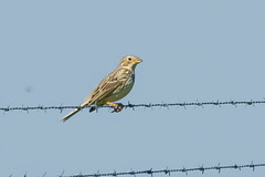 CORN BUNTING (_jypictures) Tags: animalphotography animals animal canon canon7d canonphotography wildlife wildlifephotography wiltshire nature naturephotography photography pictures birdphotography bird birds birdwatching birdingphotography birding birders cornbunting bunting ukbirding ukbirds ukwildlife