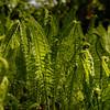 Es grünt so grün (HermannBu) Tags: berlin farn tiergarten