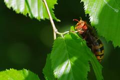Frelon d'Europe (-Dop-) Tags: vespoidea bolland liège belgique vespacrabro