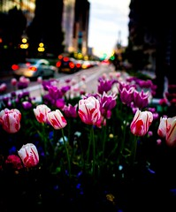 🌷 (LevixBroski) Tags: buildings sky skyscraper skyscrapers office offices mall skyline bridge clouds weather peace peaceful tranqui tranquil night evening pink purple orange red blue green teal yellow dusk white black art light cars creek citycreek colors colorful happy bright sunny summer spring bloom beautiful nature natureporn outdoors street mainstreet temple templesquare square tulip tulips pastel matte salt lake city saltlake saltlakecity ut slc sc utah flowers samyang rokinon 24 24mm f18