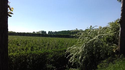 Meidoorn en appelbloesem aan de Kamerpolderdijk